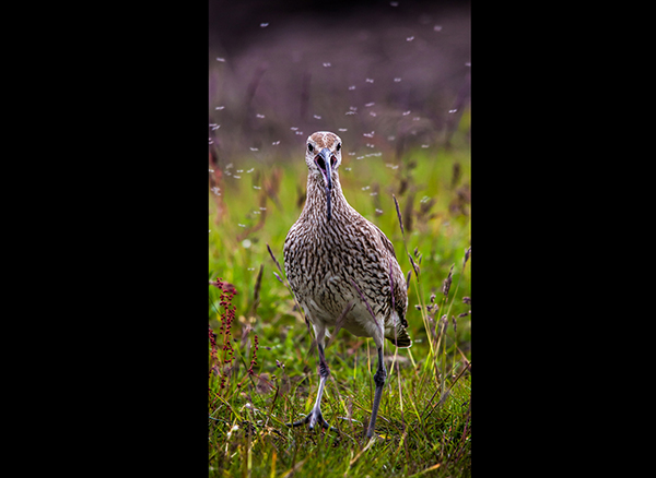 Whimbrel and Flies (w)