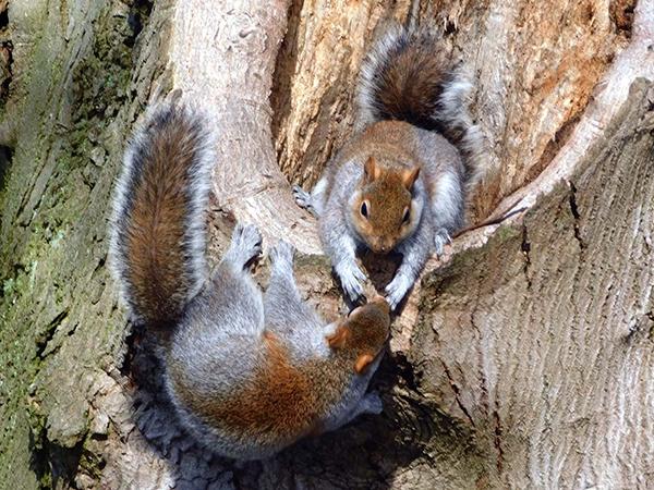 Squirrels at Drey