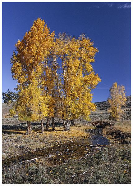 Aspens in Yellowstone