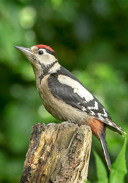 Juv Woodpecker