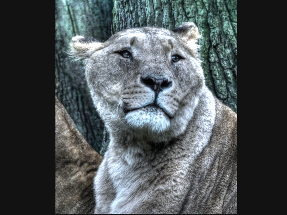 Lion at Knowsley Safari Park